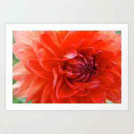 German Dahlia Art Print