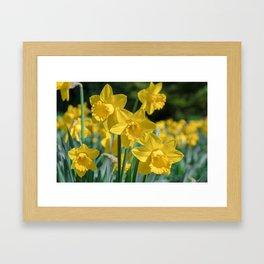 Daffodils in a field Framed Art Print