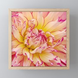 Pink Dahlia with Bright Pink tips Close Up Detail Framed Mini Art Print