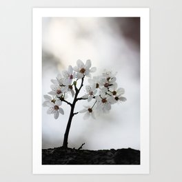 Almond blossoms in miniature Art Print