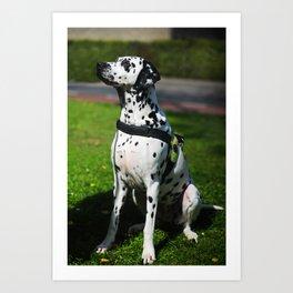 Kokkie. Dalmatian Dog Art Print