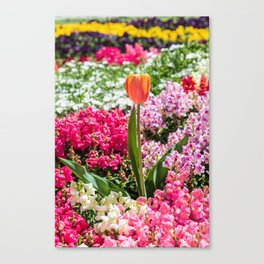 Peach tulip surrounded by colourful flowers Canvas Print