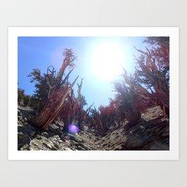 Ancient bristlecone pine forest Art Print