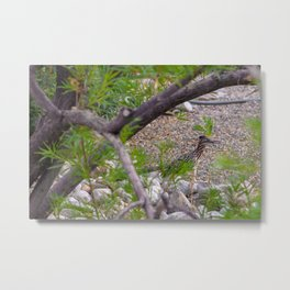Roadrunner bird camouflaged by green shrub in a desert garden in residential neighborhood in New Mexico, USA  Metal Print