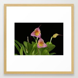 Masdevallia Lollipop Framed Art Print