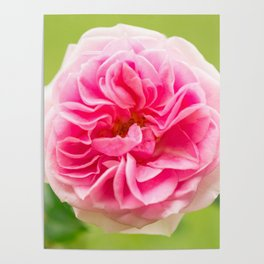 Pink Rose On A Natural Green Background #decor #society6 #buyart Poster
