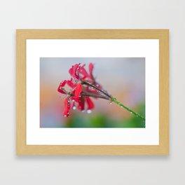 Red pelargonium flower Framed Art Print