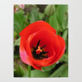 One Red Tulip Poster