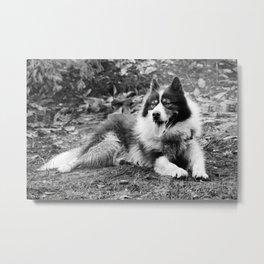 greenland dog Metal Print