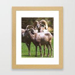 Bighorm Sheep of Nevada Framed Art Print