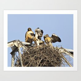 Mother Red-tailed Hawk and Fledglings. Art Print