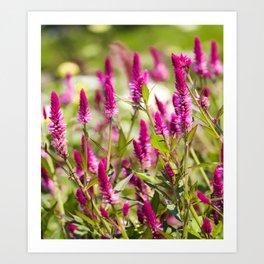 Colorful Celosia Art Print