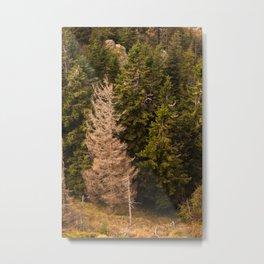 Old spruce tree standing proud Metal Print