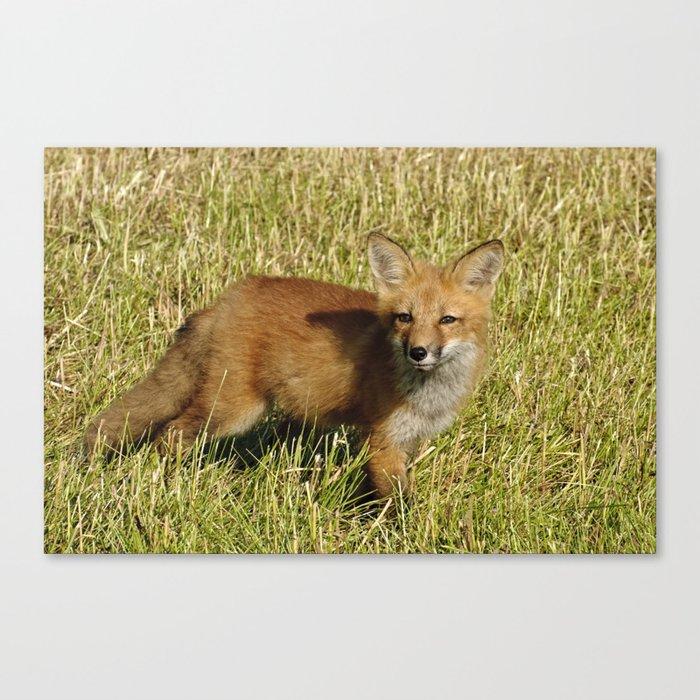 Curiousity - Red Fox kit Canvas Print