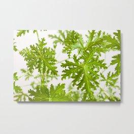 Pelargonium citrosum plant foliage macro Metal Print