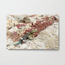 Blue Whiptail Lizard Metal Print