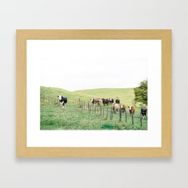 Curious cows | New Zealand travel photography | Rural landscape Framed Art Print