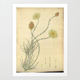 Flower xeranthemum fasciculatum Bundled leaved Everlasting flower Art Print