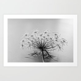 Queen Anne's Lace, black and white Art Print