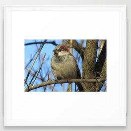 The Proud Male House Sparrow Framed Art Print