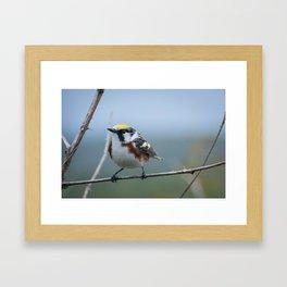 Chestnut-sided Warbler Framed Art Print