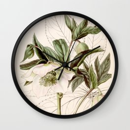 Helleborus orientalis Wall Clock