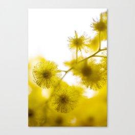 Acacia Flower  Canvas Print