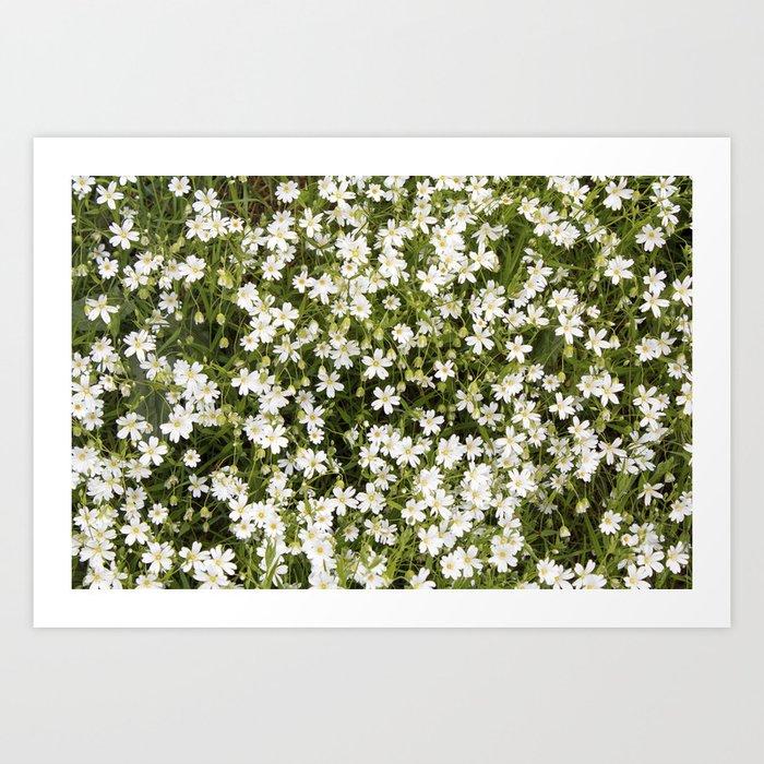Stitchwort Stellaria Wild Flowers Art Print