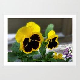 two yellow pansies Art Print