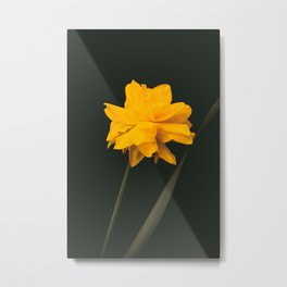 Elegant gold on black old-master botancial print style:  Double Daffodil photograph Metal Print