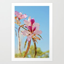 Close up of the flowers of the White Orchid Tree, Bauhinia Variegata Cv. Candida. Art Print