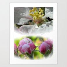 Apple Blossom 3 Art Print