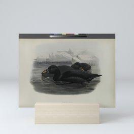 324 Oidemia nigra. Scoter Mini Art Print