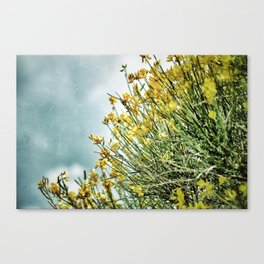 Ginster Canvas Print