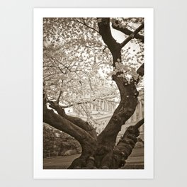 Cherry Blossoms in bloom at Capitol Building :: Washington DC Art Print