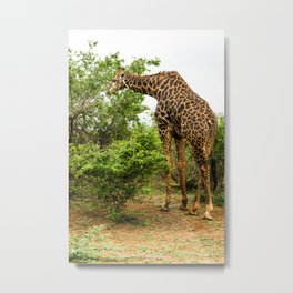 Giraffe grazing in the bush Metal Print