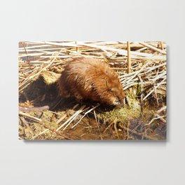 Brown Muskrat in a Marsh Metal Print
