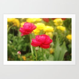 Two Pink Ranunkels Art Print
