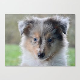Blue-eyed Portrait of a Shetland Sheepdog Puppy Canvas Print