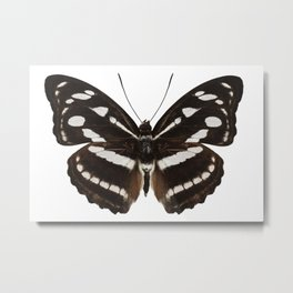 butterfly species Athyma reta moorei common name malay staff sergeant Metal Print