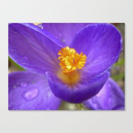 crocus bloom macro IV Canvas Print