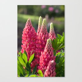Pink flower towers (small-flowered lupin) Canvas Print