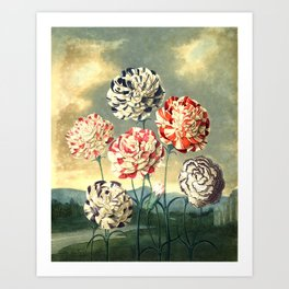 Carnations : New Illustration Of The Sexual System Art Print
