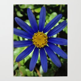 Bright Blue Daisy Poster