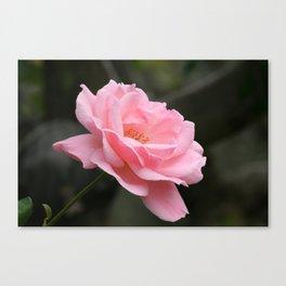 Pink Rose Flower Blooming Canvas Print