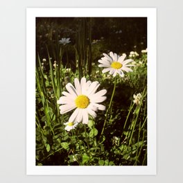 Daisies. Art Print