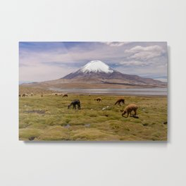 Grazing Llamas and Alpacas in front of a Mountain Metal Print