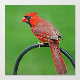 Cardinal Contemplation Canvas Print