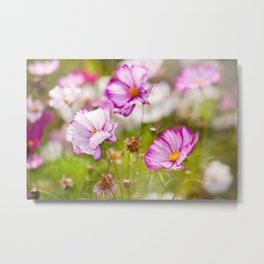 Bunch of Cosmos Bipinnatus flowers Metal Print