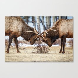 ELK IN RUT PHOTO - COLORADO WILDLIFE IMAGE - ROCKY MOUNTAIN NATIONAL PARK - NATURE PHOTOGRAPHY Canvas Print